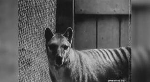 Archiwalne filmy wilków tasmańskich w Hobart Zoo